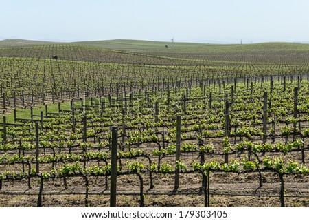 Napa Valley Grape Vineyard in Spring - stock photo