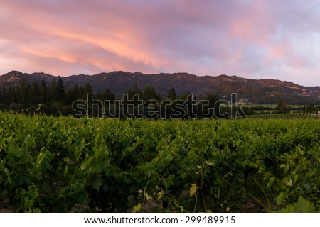 Napa valley landscape, with rows of healthy green grape vines at sunset
