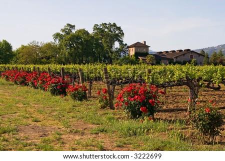 Napa Valley vineyard at sunset - stock photo