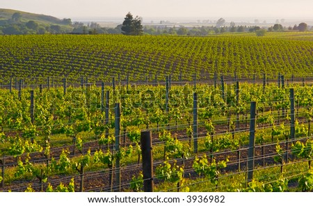 Napa Valley vineyard in California at sunset - stock photo