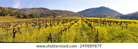 Napa Valley Vineyards and Spring Mustard Blooming in the Fields Panoramic - stock photo