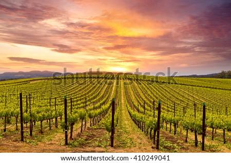 Napa Valley Vineyards Autumn Sunrise - stock photo