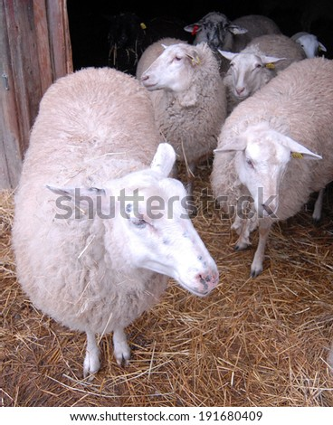 NAPAVINE, WASHINGTON � AUGUST 5, 2009 �A sheep barn is situated at a dairy farm in Washington state. - stock photo