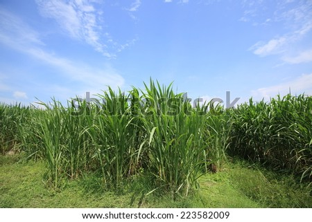 Napier Grass Plantation , Pennisetum setaceum , Sugarcane field in blue sky and white cloud in Thailand  - stock photo