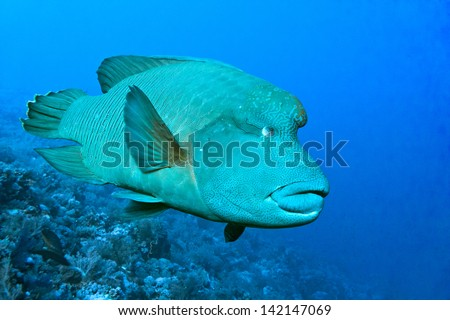 Napoleon fish on the blue background - stock photo