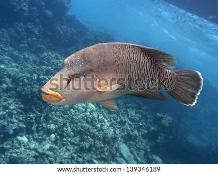 Napoleon wrasse in red sea - stock photo