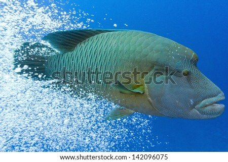 Napoleonfish swim out from the air bubbles - stock photo