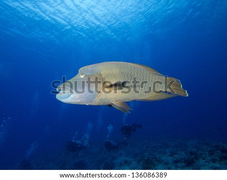 Napolian wrasse, Blue conner, Palau