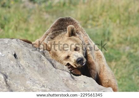 napping brown bear - stock photo