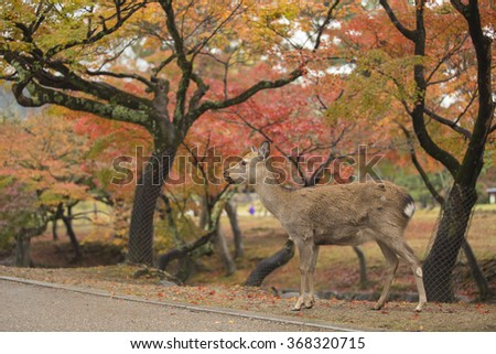 Nara deer roam free in Nara Park, Japan
