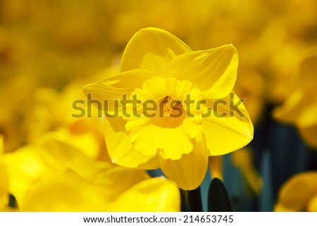 Narcis flower in Keukenhof - stock photo