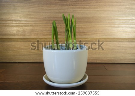 Narcissi - stock photo