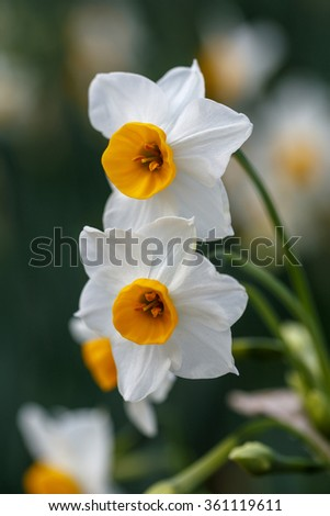 Narcissus - stock photo