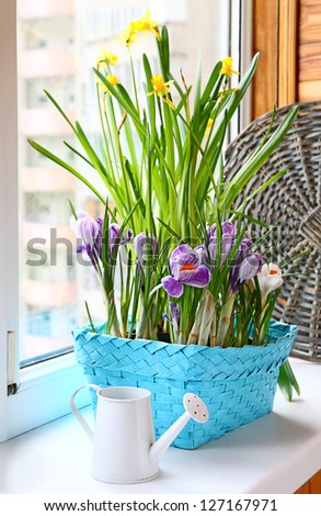 Narcissus and crocus growing in a basket with white watering-can on a balcony.