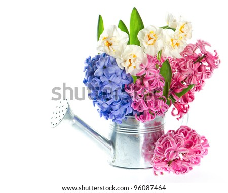 narcissus and hyacinth. spring flowers in in watering can on white background - stock photo