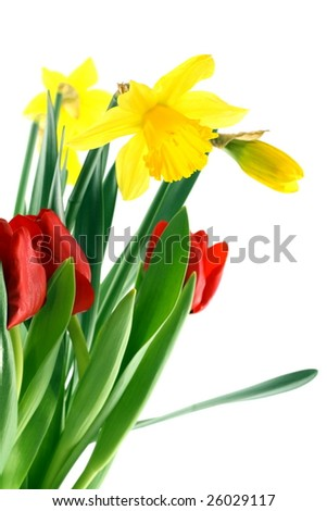 Narcissus and tulips on white background. - stock photo