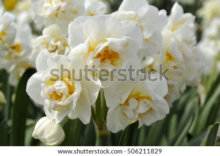 jasmine with crown bridal crown stock images royalty free images vectors