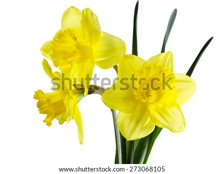 Narcissus daffodil flower plant isolated on white background - stock photo