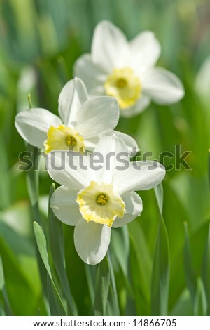 narcissus flower and leaves, small deep of view - stock photo