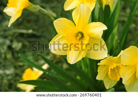Narcissus flower in garden. Yellow daffodil. Selective focus. - stock photo