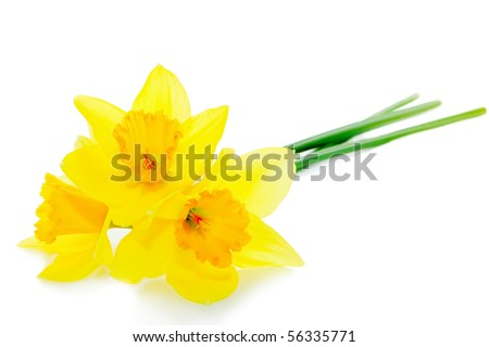 Narcissus flower isolated on white background - stock photo