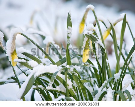 narcissus flowers in snow. - stock photo