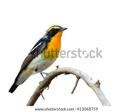 Narcissus Flycatcher (ficedula zanthopygia) the beautiful yellow with black and grey feathers perching on the curve stick isolated on white background