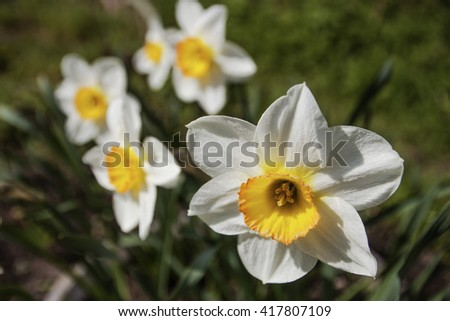 Narcissus. Group of daffodils blooming in the garden. White flower petals. Yellow pollen. Blurred background. Daffodil closeup. - stock photo