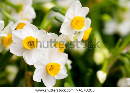Narcissus in Chinese New Year
