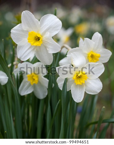 Narcissus in Chinese New Year - stock photo