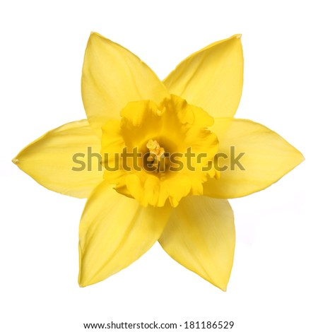 Narcissus isolate on white. Spring Flower Daffodil  - stock photo