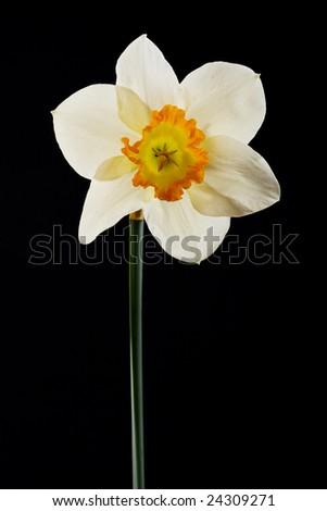 narcissus on black background - stock photo