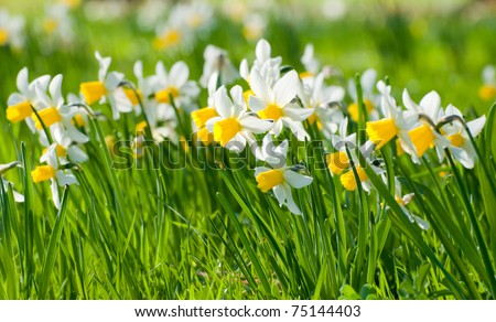 Narcissus pseudonarcissus commonly known as wild daffodil or Lent lily in spring. - stock photo