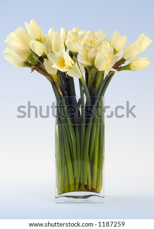 Narcissus still life - studio image of narcissi on a ble gradient background
