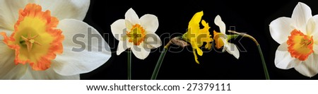 narcissuses on black background - stock photo