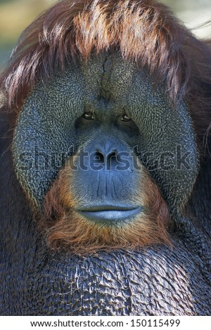 Narrow look at the world. Eye to eye with an orangutan male, chief of the monkey family. Face portrait of the most expressive animal, great human-like ape.