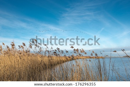 Narrow piece of land with a fringe of swaying already been in a river and  contrasting against a blue sky Greylag geese flying in a flight formation. - stock photo