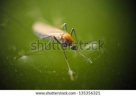 Nascent mosquito stands on green water surface - stock photo