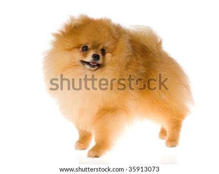 Nat Champion Pomeranian on white background - stock photo
