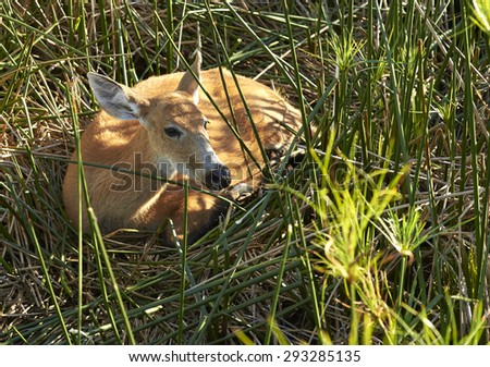 NATIONAL PARK ESTEROS DEL IBERA, CORRIENTES, ARGENTINA - NOV 25, 2014: Marsh Deer (Blastocerus Dichotomus), The Iber�¡ Wetlands. Capybaras are the largest rodents in the world.  - stock photo