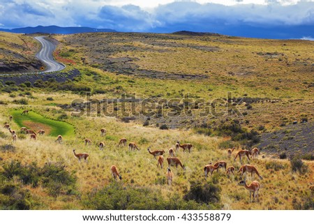 National Park Torres del Paine in Chilean Patagonia. On the grass grazing herd of wild guanacos - stock photo