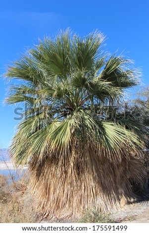 Native Fan Palm Tree in Southern California