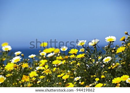 Native Field Of California Crown Daises, Chrysanthemum Coronarium With The Ocean or Sea and Blue Sky In The Background