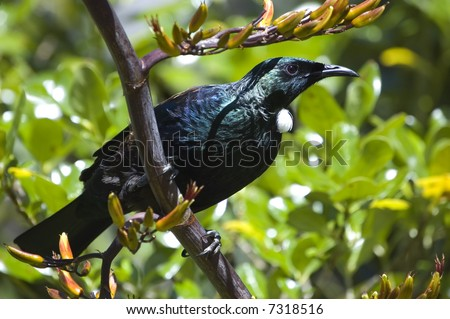 Native New Zealand bird Tui sitting on a branch of flax plant. Side view. - stock photo