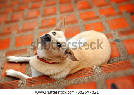 native thai dog relax on floor and looking up - stock photo