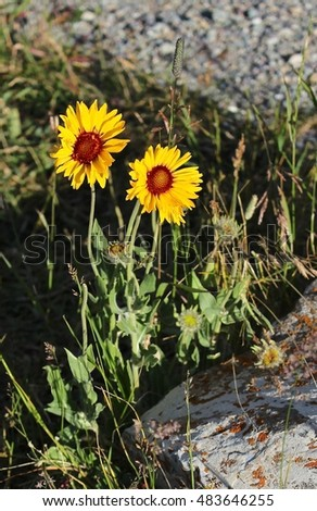 Native wild flower plant basking in the afternoon sun in Glacier National Park, MT. Arrow leaf balsamroot (Balsamorhiza sagittata)