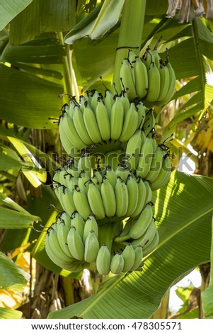 Native wild green unripe banana growing in Asia, sustainable food source and natural foods.