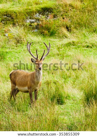 native wild Red Deer stag feeding and watching - stock photo