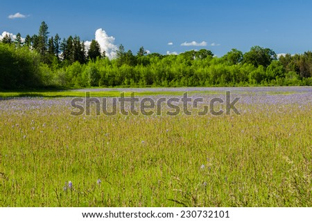 Native wildflower meadow with camas plants in bloom - stock photo
