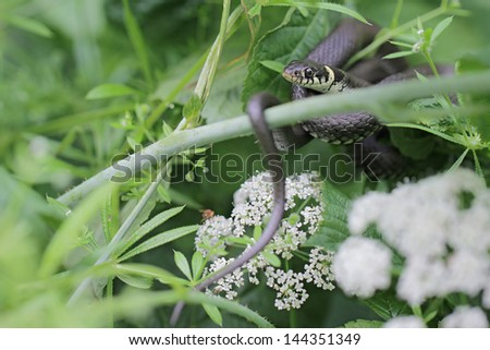 Natrix Natrix in its natural habitat - stock photo